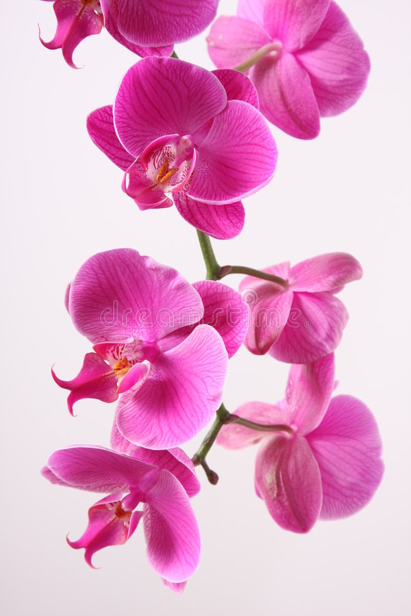 Download Orchid stock image. Image of individual, scene, plant - 8397625
