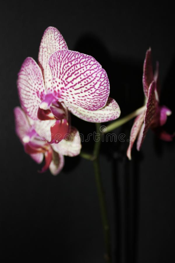 Orchid on black background. White with purple veins flower of Phalaenopsis. royalty free stock images