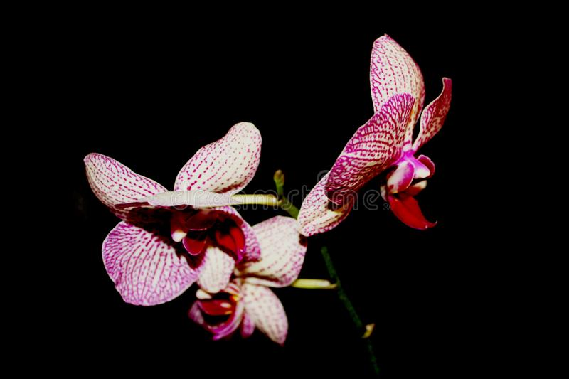 Orchid on black background. White with purple veins flower of Phalaenopsis. stock image