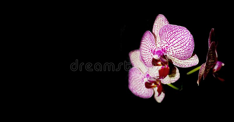 Orchid on black background. White with purple veins flower of Phalaenopsis, space for text. royalty free stock images