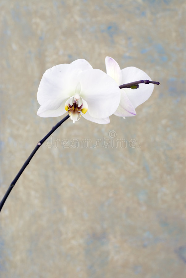 Orchid Blossom stock photo