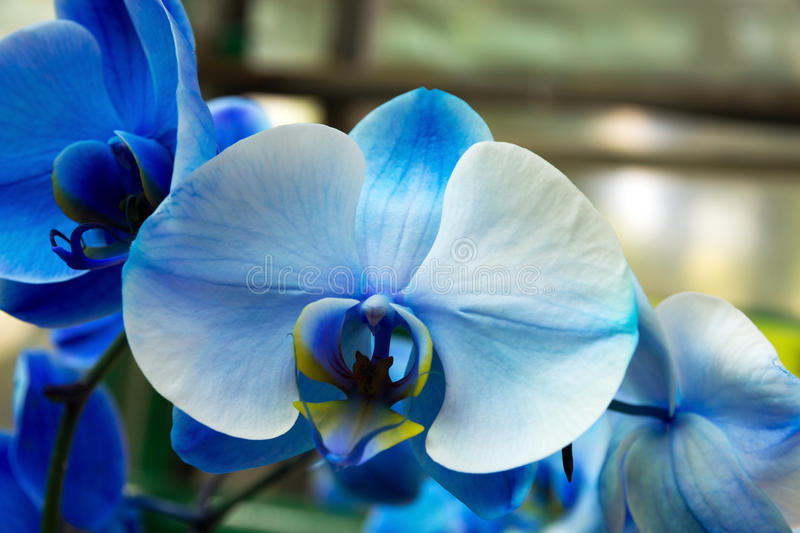 Orchid blue blossom royalty free stock photo