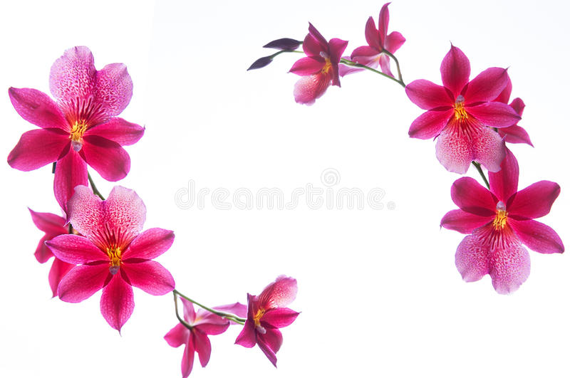 Orchid border isolated on a white background royalty free stock photography