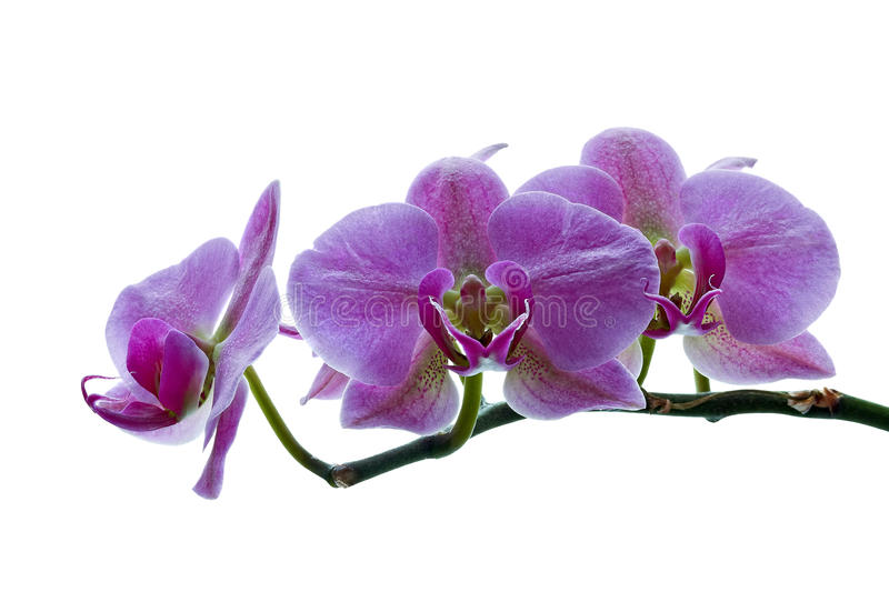 Orchid branch isolated on white. Branch of pink orchid isolated on white stock photography