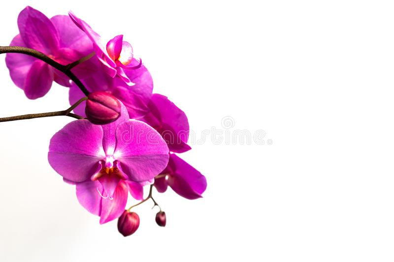 Orchid branch on a white background. Beautiful violet flowers and buds . stock image