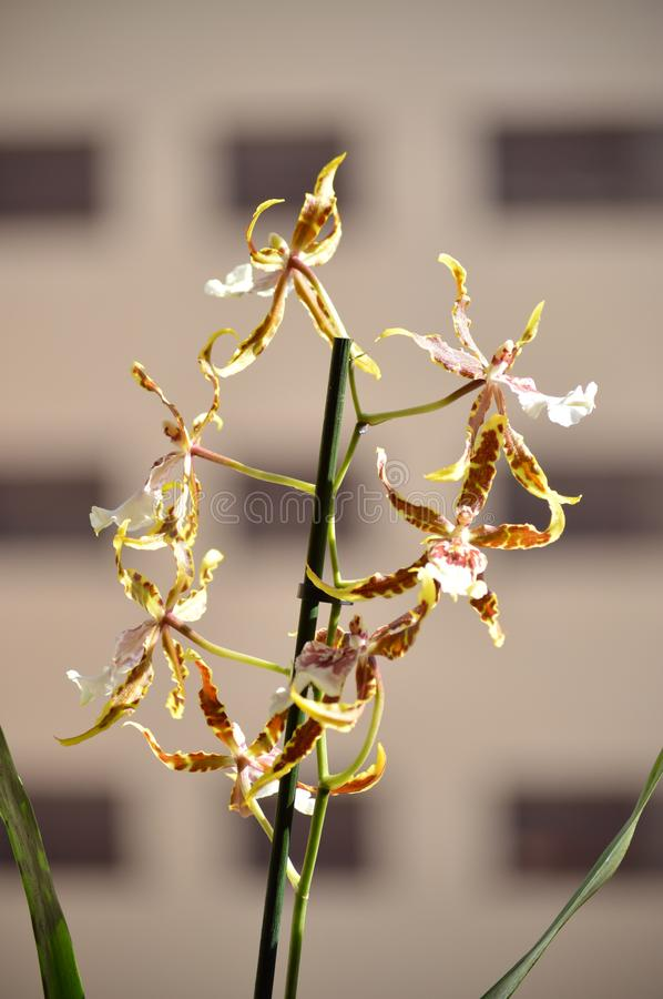 Orchid Brassia Tessa Yellow And Brown Photograph Of Various Flowers On A Stick. Nature Orchid Botanica Biology Phytology Flowers P stock photography
