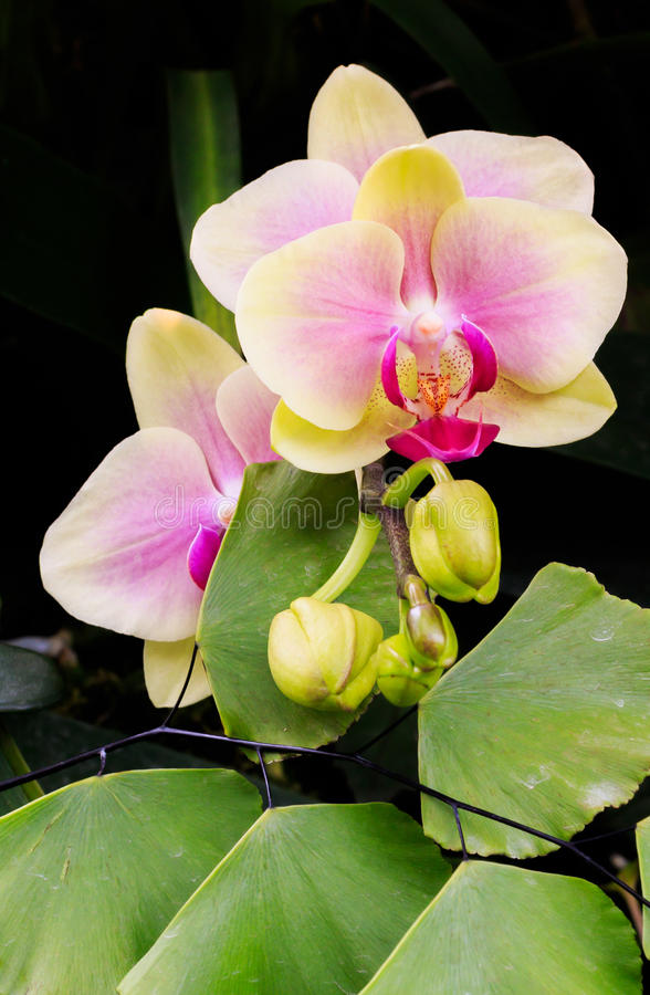 Orchid bud to bloom royalty free stock photo