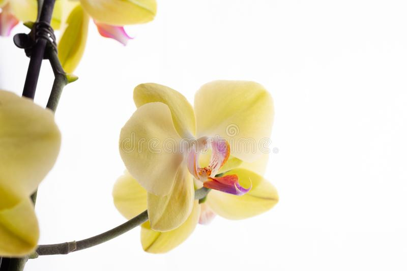 Orchid buds on a branch on a white background. stock photo