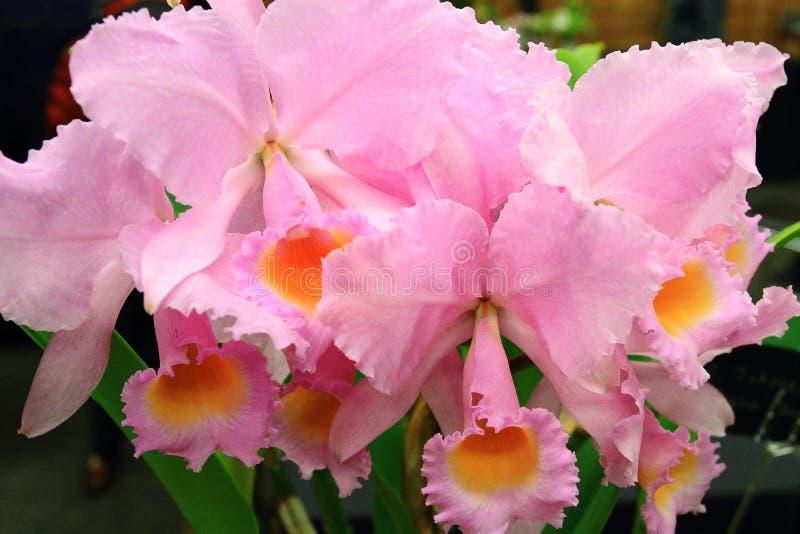 Orchid Cattleya στοκ φωτογραφία
