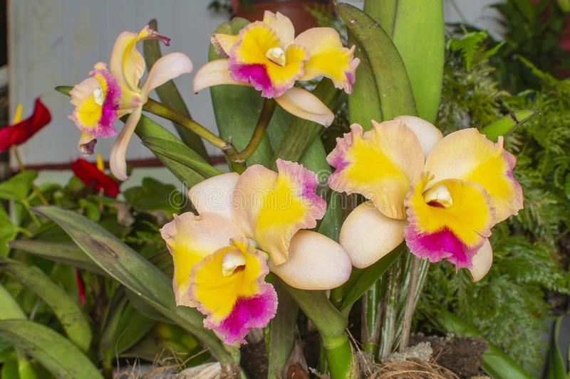 Orchid Cattleya Hybrid Bicolor. royalty free stock photos