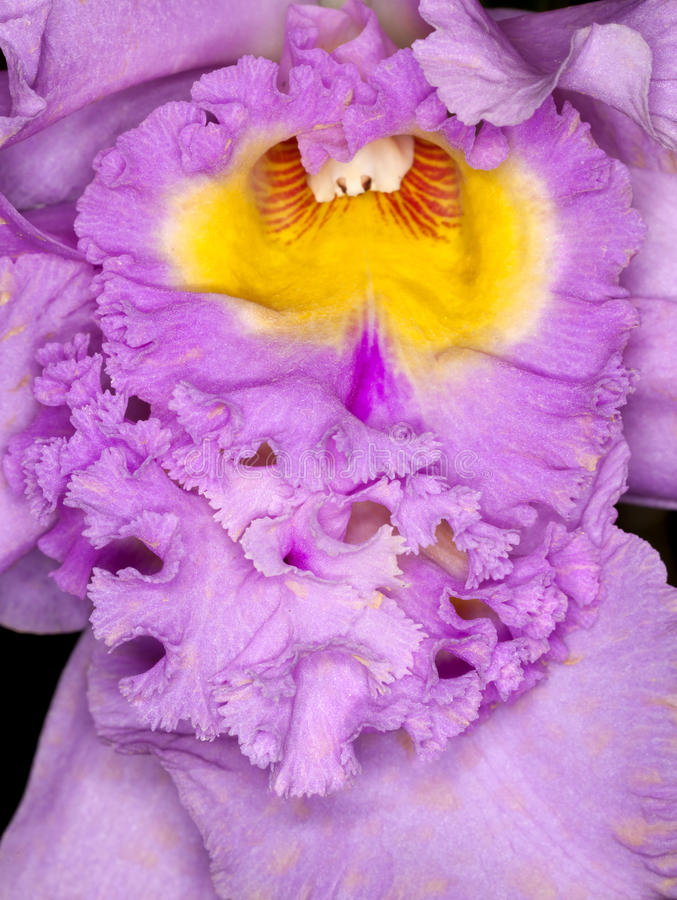 Orchid Closeup Royalty Free Stock Image