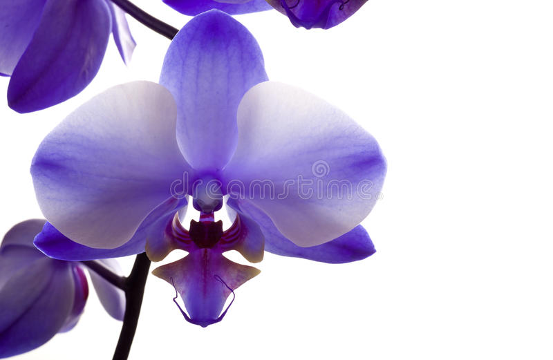 Download Orchid Closeup On White Background Stock Image - Image: 30840427