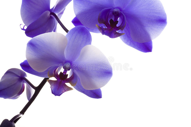 Download Orchid Closeup On White Background Stock Image - Image: 30840461