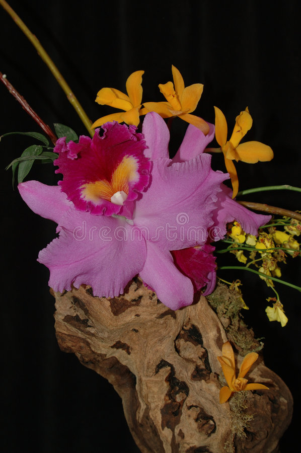 Download Orchid composition stock photo. Image of black, tropical - 105856