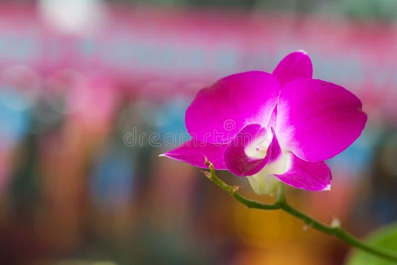 Orchid Cymbidium στοκ εικόνα