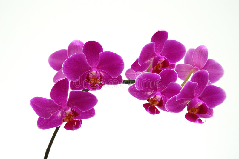 Orchid - dark pink. Dark pink orchid is one of thousands kind of orchid. Name Orchidaceae, also called the Orchid family, is the largest family of the flowering stock photo
