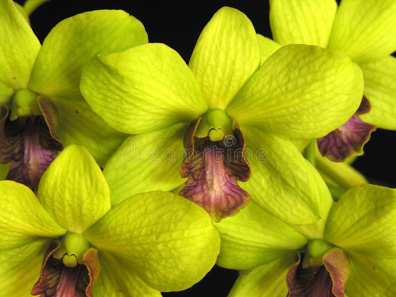 Orchid: Dendrobium green stock image
