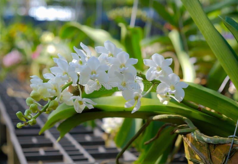 Orchid?e blanche photo stock
