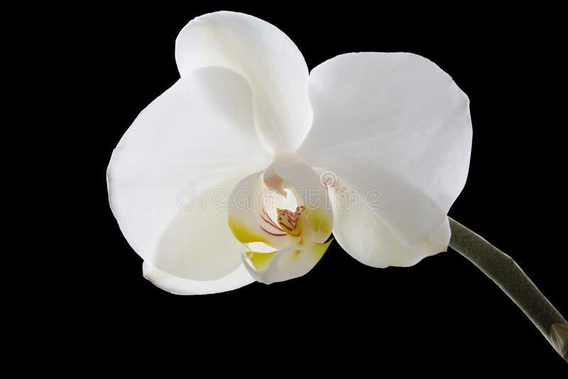 Orchid?e blanche sur le fond noir image libre de droits