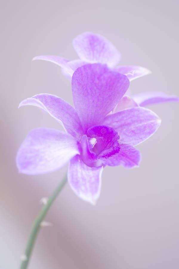Orchid?e brumeuse images libres de droits