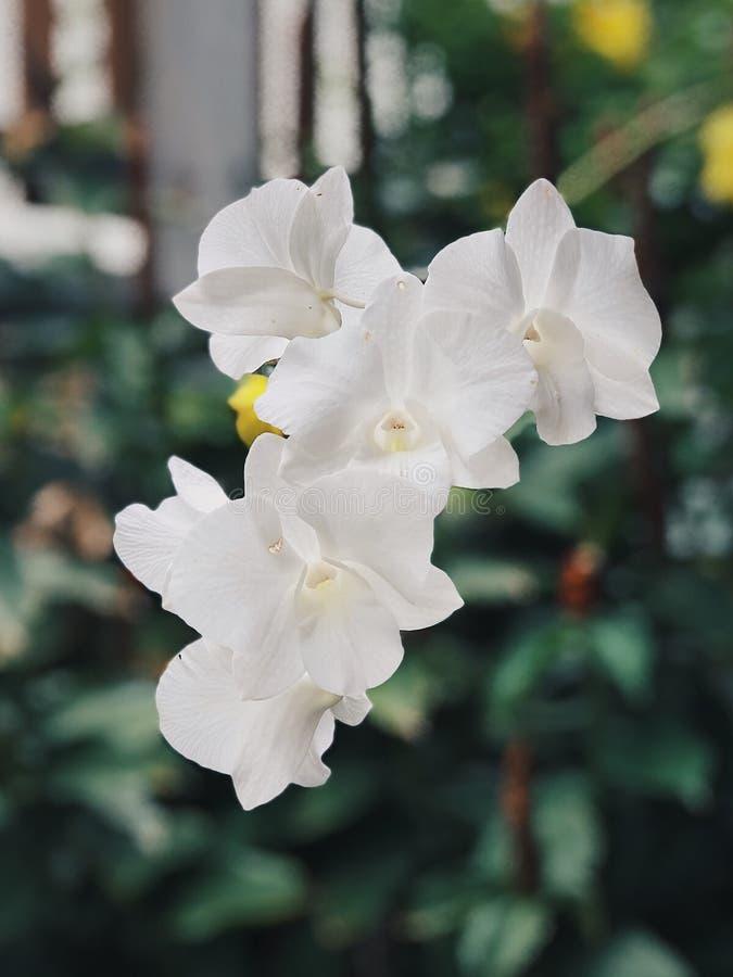 Orchid?e photo libre de droits