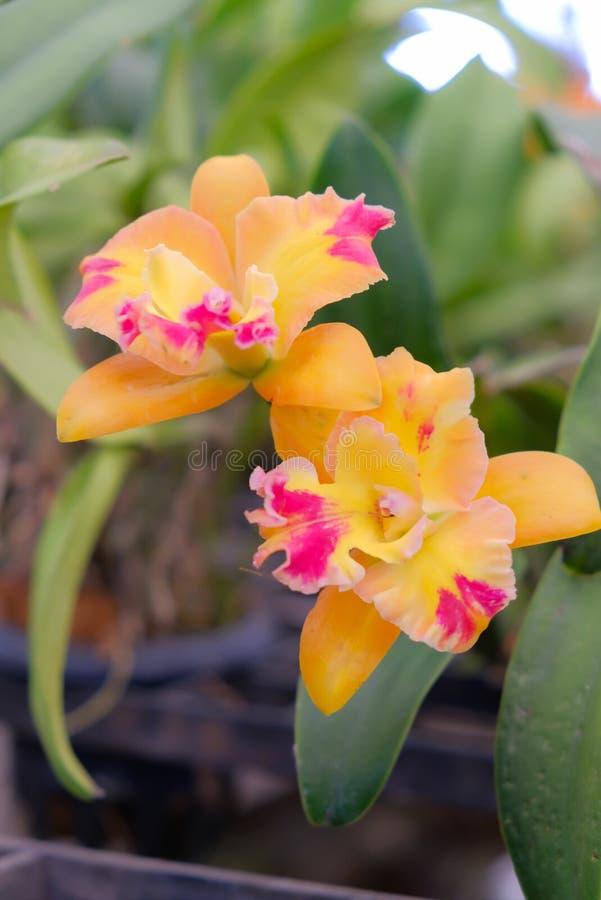 Orchid?e jaune de Cattleya images stock