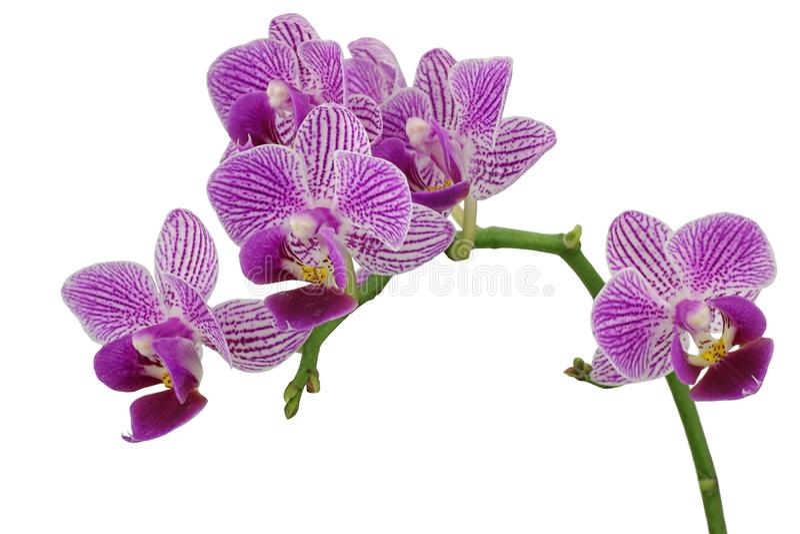 Orchid?e pourpr photo stock