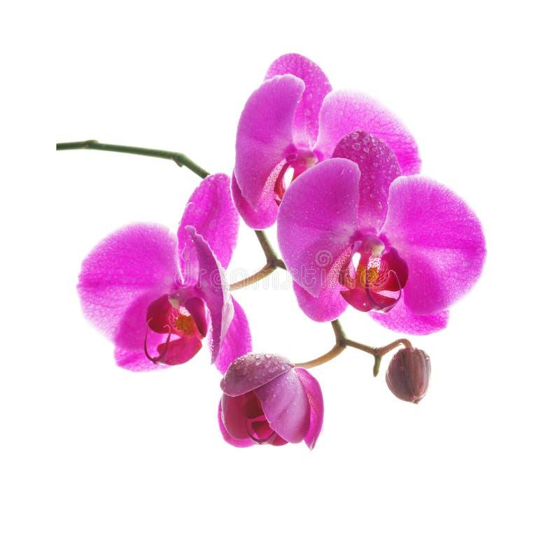Orchid?e rose sur un fond blanc photos stock
