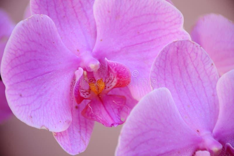 Orchid?es pourpr?es image libre de droits