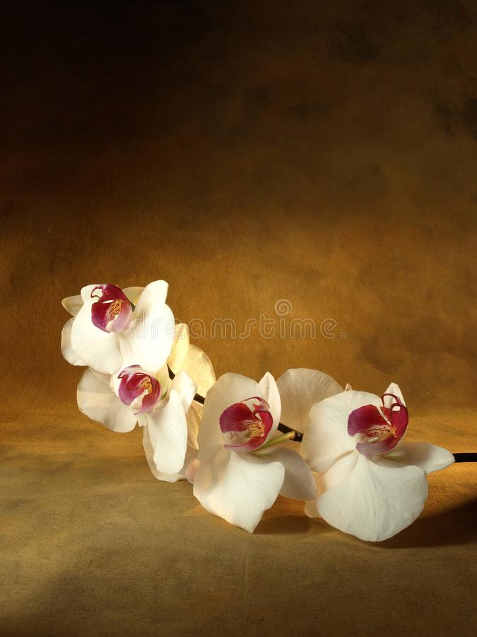 Download Orchid stock photo. Image of beauty, flora, depth, hygiene - 13484980