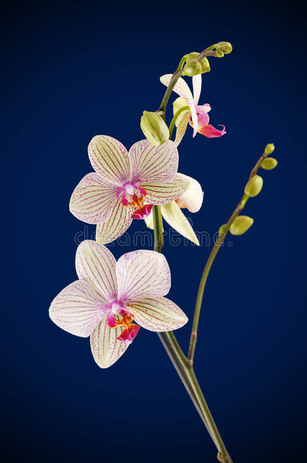Orchid flower. Branch of orchid flower (phalaenopsis) on blue background stock images