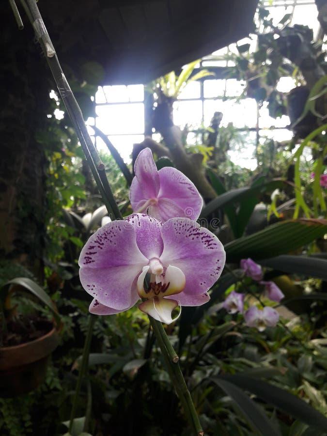 Orchid Flower immagine stock libera da diritti