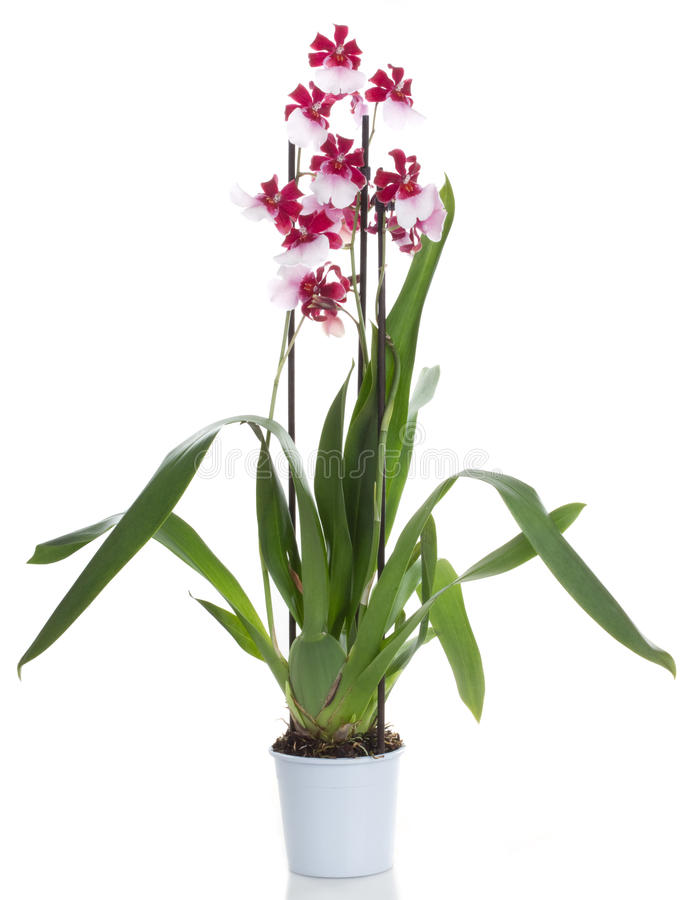 Orchid flower. Orchids cambria potted orchid flower, isolated on white background stock images