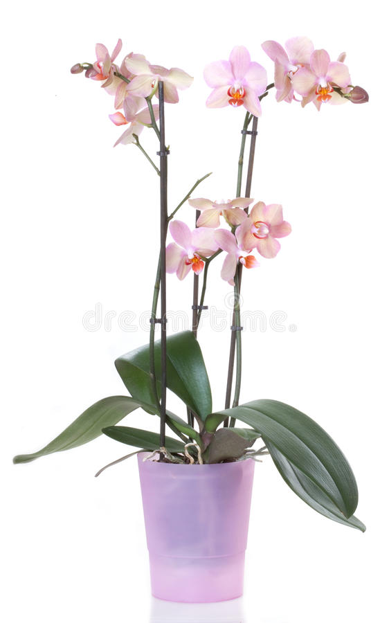 Orchid flower. Orchids flowers orchid phalaenopsis flower, isolated on white background stock image