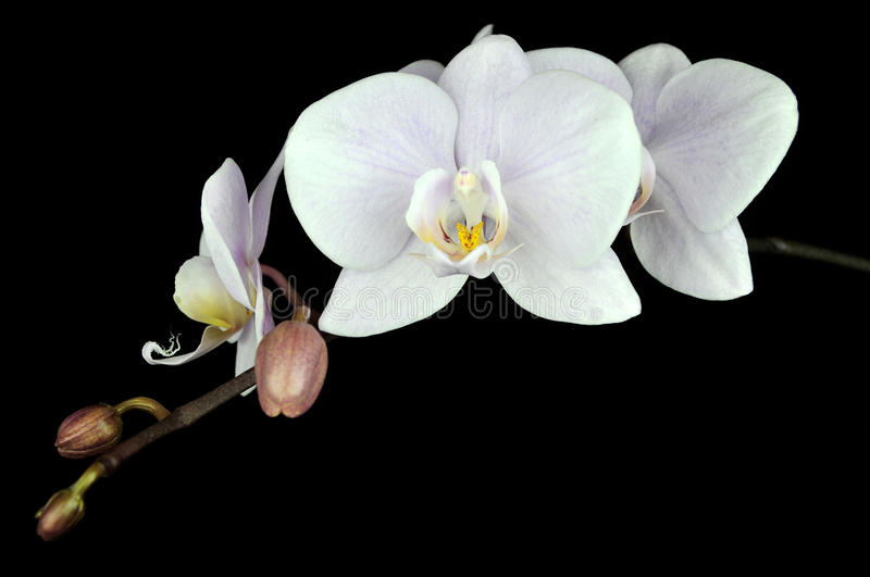 Orchid Flower. Isolated on black background royalty free stock images