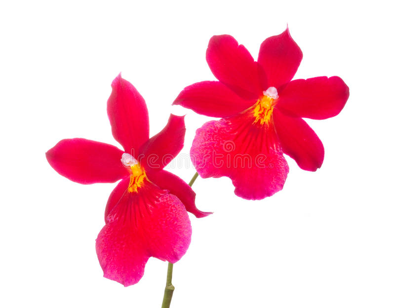 Orchid flower. Red orchids flowers cambria orchid flower, isolated on white background stock image