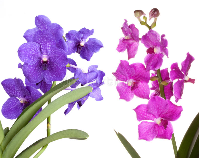 Orchid flower. Orchid vanda flower, isolated on white background stock photo