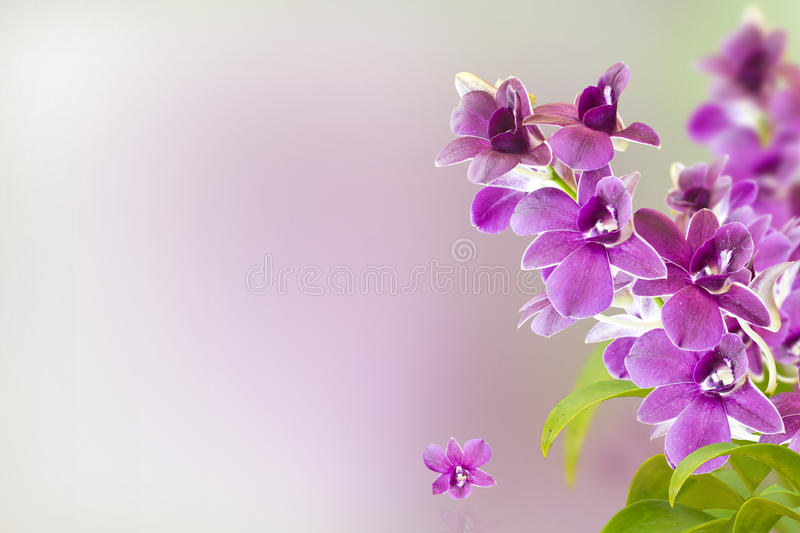 Orchid Flower. Violet Orchid Flower isolate on Background use as Card,Post card,Wallpaper royalty free stock image