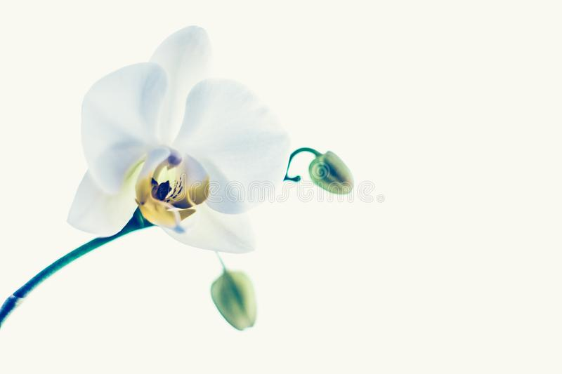 Orchid flower in bloom, abstract floral art background royalty free stock photos