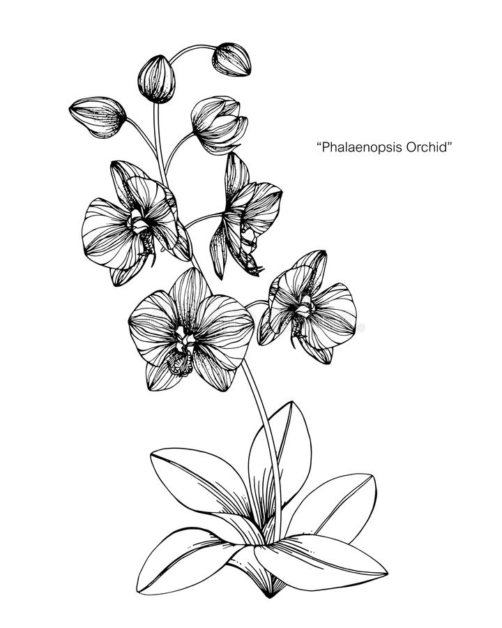 Orchid flower drawing illustration. Black and white with line art. Orchid flower drawing illustration. Black and white with line art on white backgrounds stock illustration