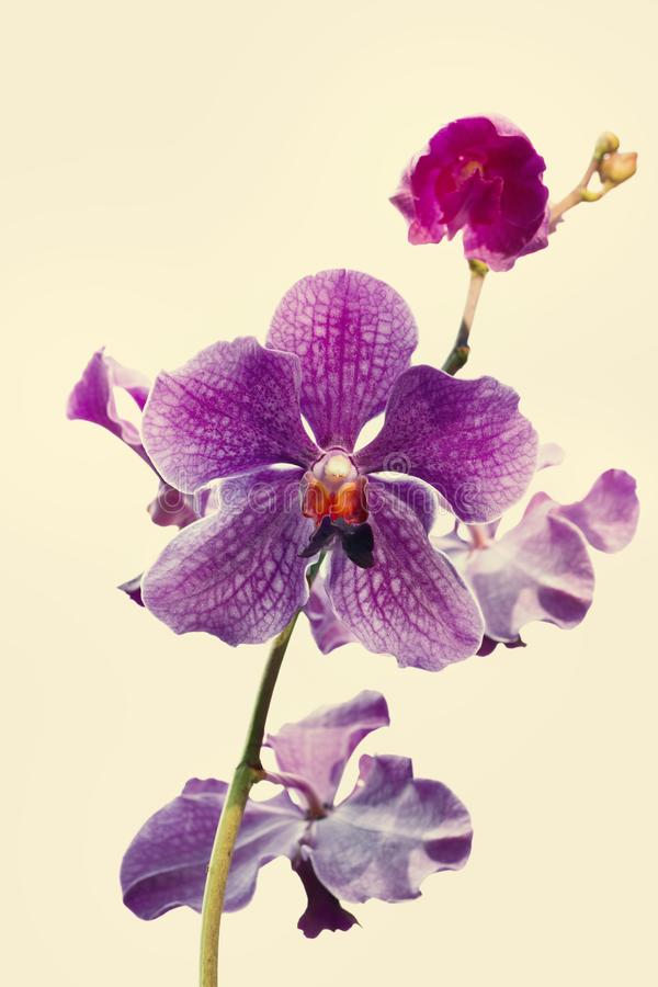 Orchid flower in garden. Pink flower background stock photography