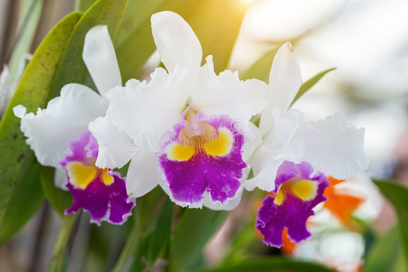 Orchid flower in orchid garden at winter or spring day for beauty and agriculture concept design. Cattleya Orchid.  stock photo