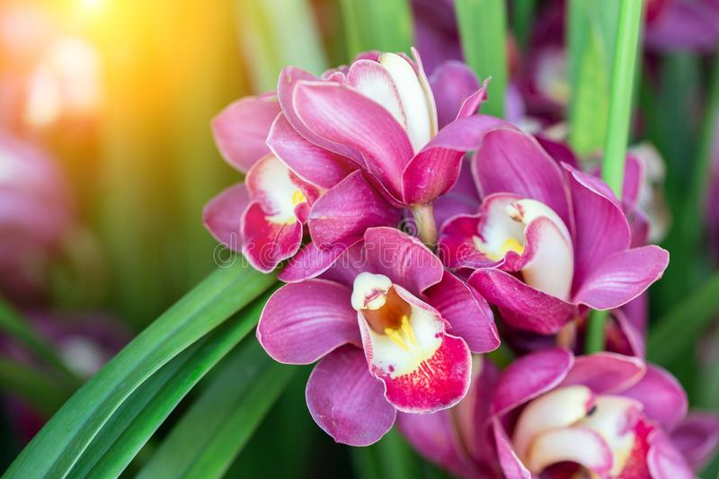 Orchid flower in orchid garden at winter or spring day for beauty and agriculture concept design. Cymbidium Orchidaceae.  stock photos