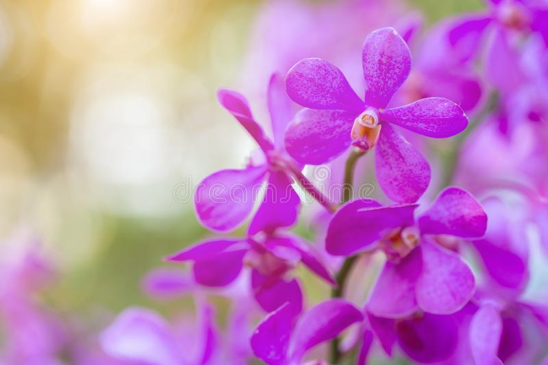 Orchid flower in orchid garden at winter or spring day for beauty and agriculture concept design. Dendrobium Orchid.  stock photo