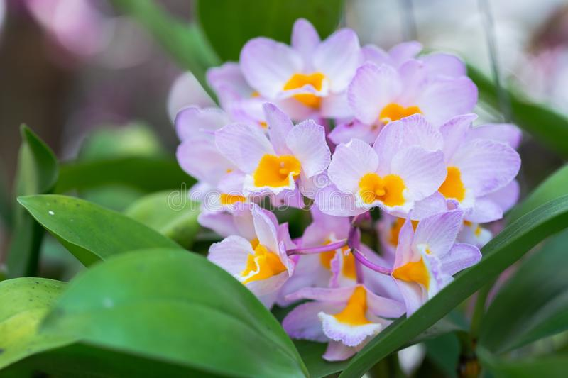 Orchid flower in orchid garden at winter or spring day for beauty and agriculture concept design. Dendrobium farmeri Orchidaceae.  royalty free stock image