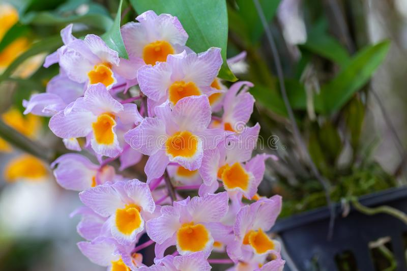 Orchid flower in orchid garden at winter or spring day for beauty and agriculture concept design. Dendrobium farmeri Orchidaceae stock photos
