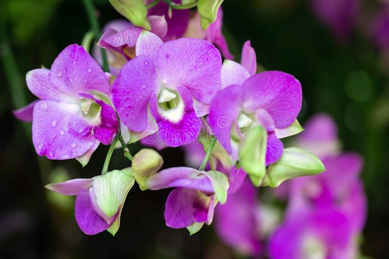 Orchid flower in orchid garden at winter or spring day for beauty and agriculture concept design. Dendrobium Orchidaceae.  stock photo