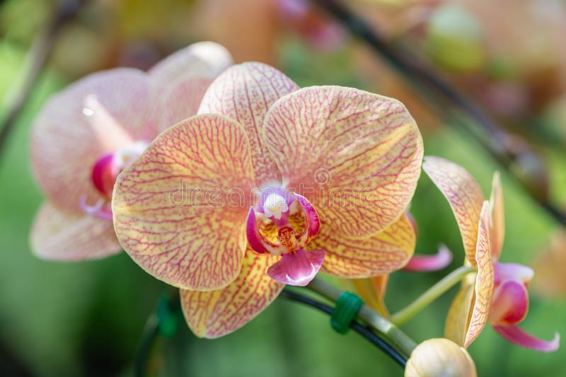 Orchid flower in orchid garden at winter or spring day for beauty and agriculture concept design. Phalaenopsis orchid.  stock photos
