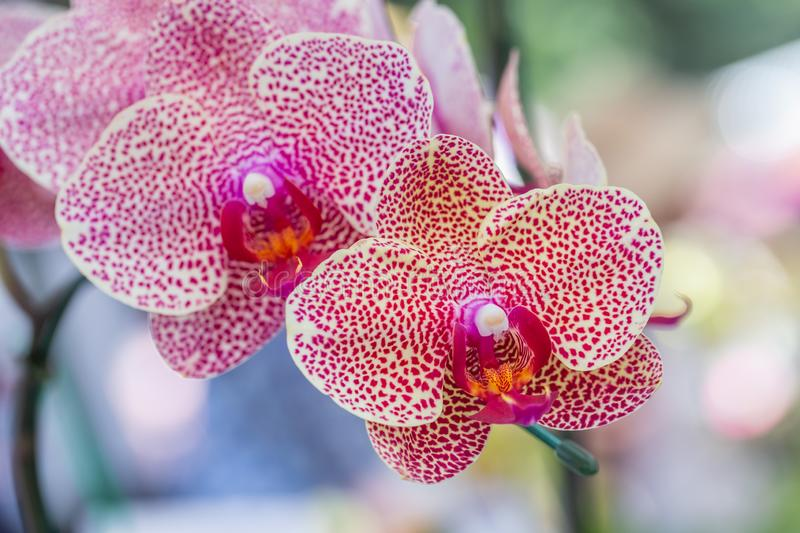 Orchid flower in orchid garden at winter or spring day for beauty and agriculture concept design. Phalaenopsis orchid.  royalty free stock photo