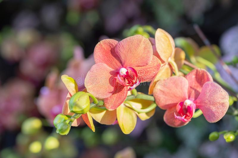 Orchid flower in orchid garden at winter or spring day for beauty and agriculture concept design. Phalaenopsis orchid.  stock photo